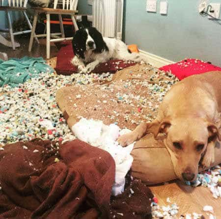 Two funny dogs destroyed pillows or cushions