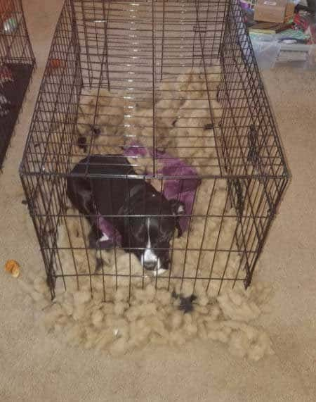 silly dog pics with a pooch destroyed his doggie bed