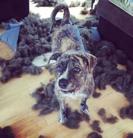 silly dog pics with a Canine destroyed doggie bed