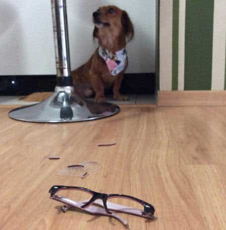 silly dog pics with a pooch who killed some eye glasses