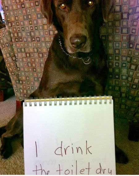 Labrador dog shaming of a lab for drinking out of the toilet