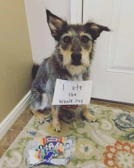 Dog Shaming Funny Pictures of canine ate the whole bag of marshmallows.