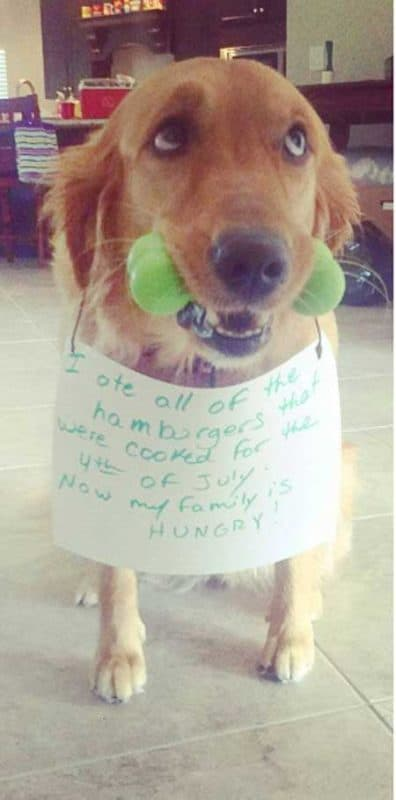 Retriever is part of shamed dogs in trouble for eating the forth of July hamburgers.