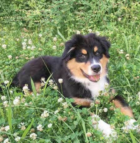 sweet aussie pup in the flowers