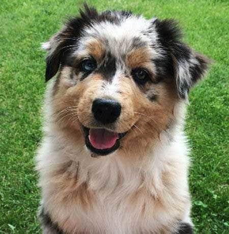Australian Shepherd Pictures of a puppy
