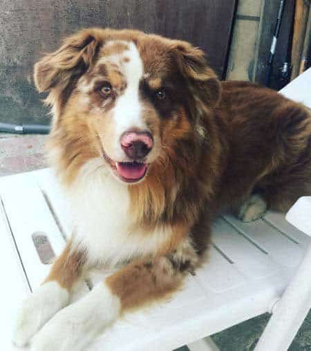 Australian shepherd chilling out on the chair