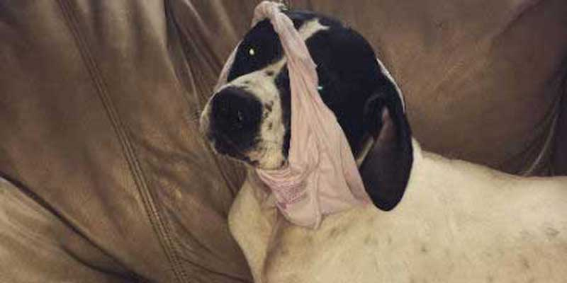 dog shaming of a Funny pooch with panties on his head