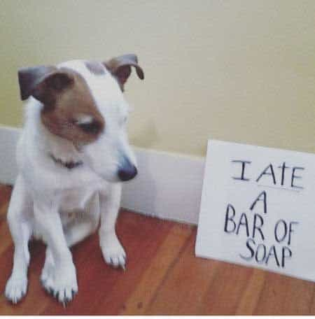 pooch ate a bar of soap in these funny dog shaming photos