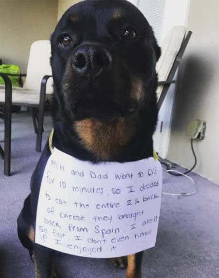 big canine ate a two pound block of cheese in these funny dog shaming photos