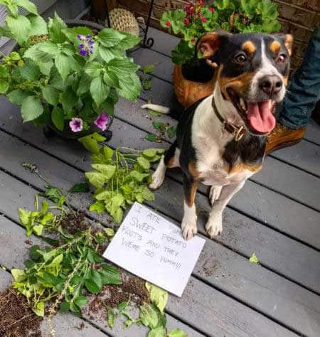 Pooch destroyed the sweet potatoes in these funny dog shaming photos