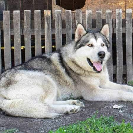 BIG Alaskan Malamute laying outside near a wooden fence
