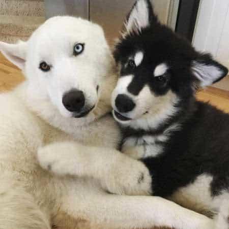 Alaskan Malamute Puppy cuddling with a Husky