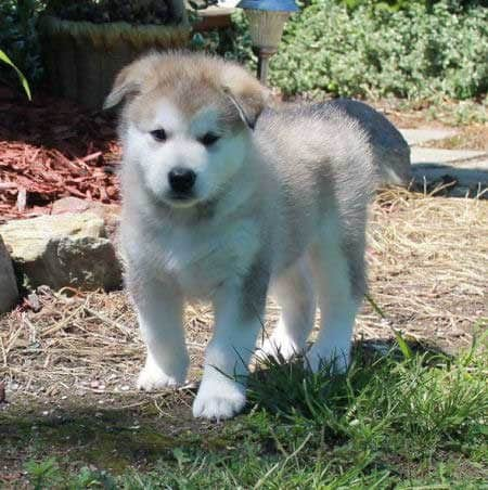 Alaskan Malamute Puppy standing up outside.