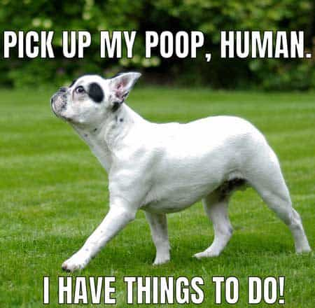 snotty dog logic memes, pick up my poop human i have things to do.
