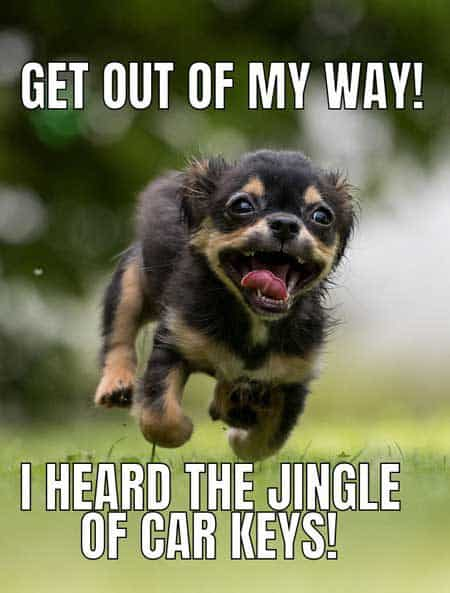 Cute dog memes showing little spaz dog running! Get out of my way I heard Car Keys
