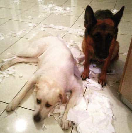 crazy dog pictures of a lab and Sheppard over the paper towel mess they created
