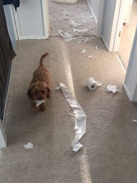 crazy dog pictures of a pooch with toilet paper all over the place