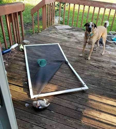 crazy dog pictures of a canine outside standing over the screen door he went through