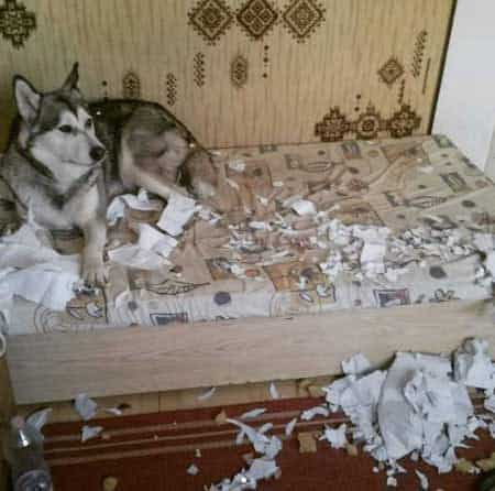 crazy dog pictures of a Malamute laying in their bed with shredded paper all over the place