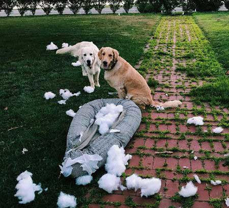 Funny dogs destroy cushion from outside