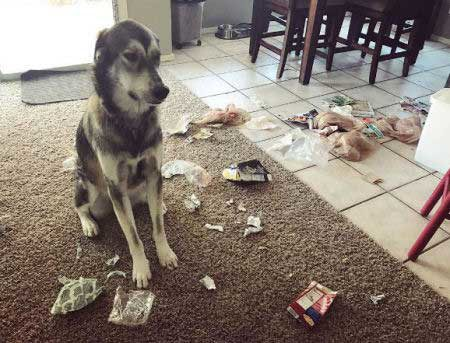destructive dog pictures with a K9 sitting in the mess of trash he spread out