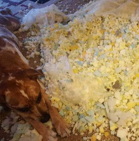 Dog sitting in the mess of foam he created