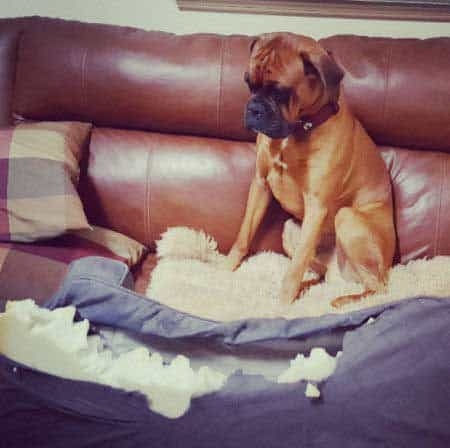 Canine looking in shame over his destruction of his dog bed