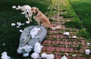 two funny dogs on the front lawn with a destroyed cushion