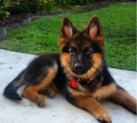 German Shepherd puppy on the pavement with a red heart on his collar