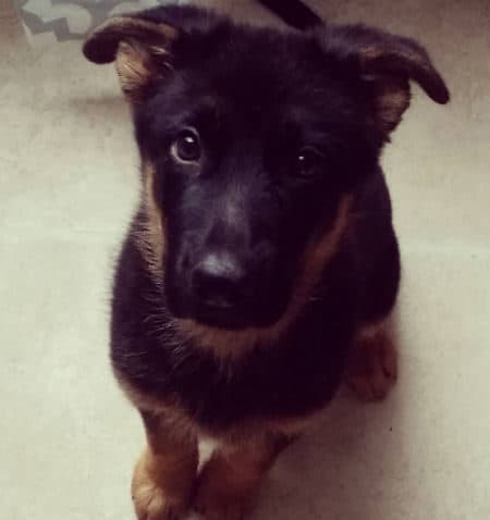 German Shepherd puppy giving an awesome pose for the camera