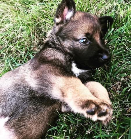 German Shepherd puppy on his side in the grass
