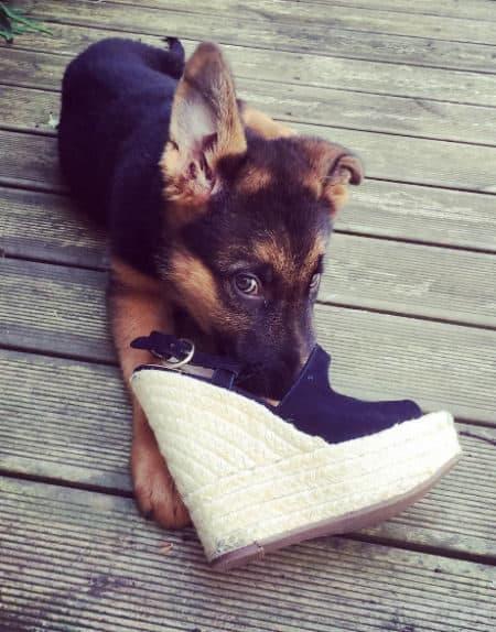 German Shepherd puppy eating a shoe on a wood deck