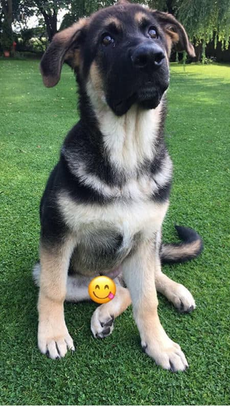 German Shepherd puppy on the grass with an emoji covering his little boy parts