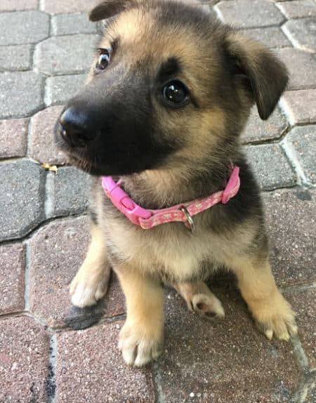 German Shepherd puppy outside with pink collar