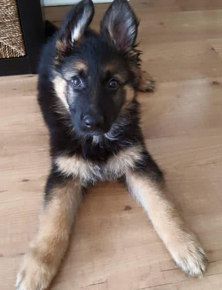 German Shepherd puppy on a wood floor
