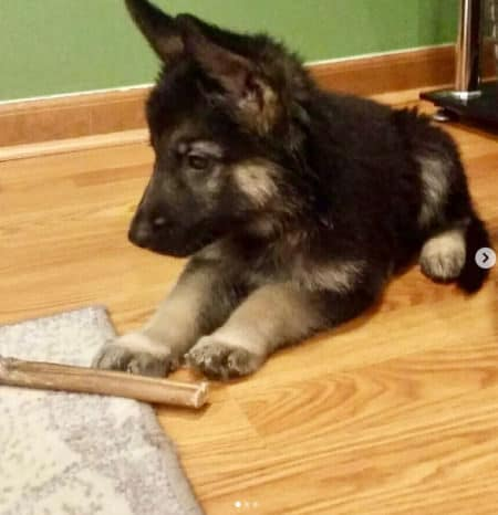 German Shepherd puppy staring at a chew toy inside on the floor