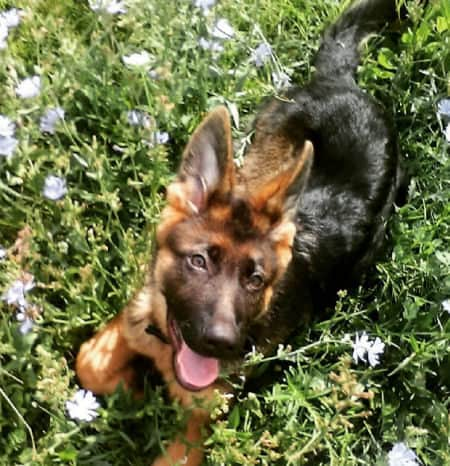 German Shepherd puppy in afield of grass with some flowers
