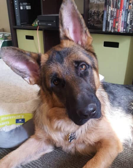 Pictures of German Shepherds with one on the bed with a head tilt