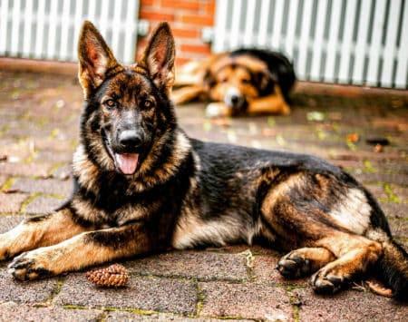 German Shepherd with orange eyes and orange fur