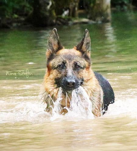 German Shepherd running through the water with water coming out of his mouth
