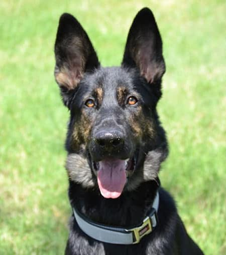 Pictures of German Shepherds with one panting at the camera