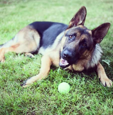 Pictures of German Shepherds with one in the grass with a tennis ball