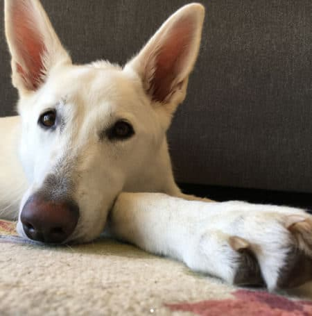 White fur German Shepherd chilling out on the rug