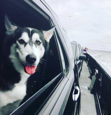 Husky Pictures of a black and white husky in a car on a ferry