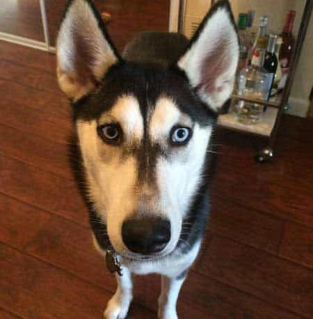 Husky Pictures of a Black and White Husky with light blue eyes staring at the camera