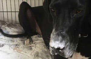 Labrador destroys a bag of flour for funny dogs post.