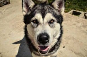 Alaskan Malamute looking at the camera for cool dogs post