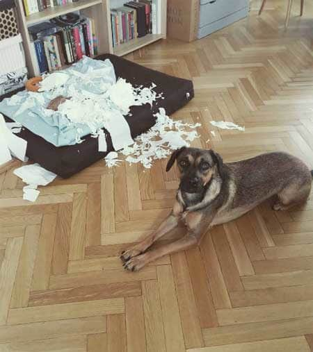 canine posing in front of the mess he created