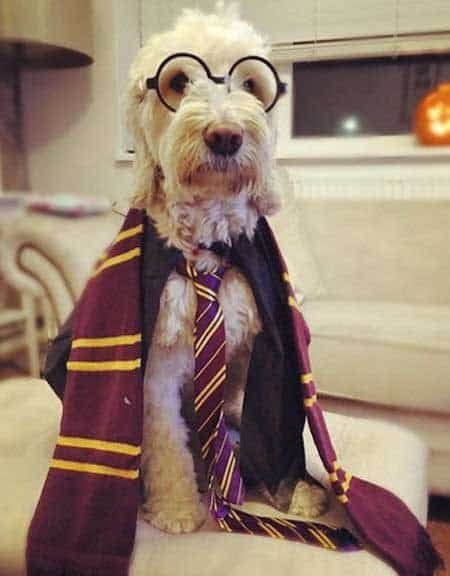 Howloween harry potter costume for Dogs