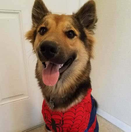 Howloween Spiderman costume for Dogs